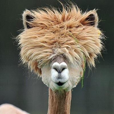 alpaca hairdo
