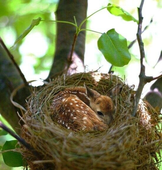baby fawn in bird's nest
