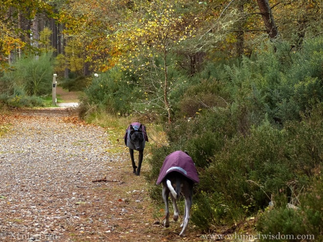 two whippets in winter jackets walking towards each other on a forest trail with autumn leaves