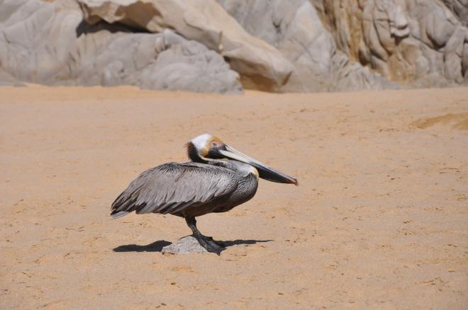 zoomed pelican
